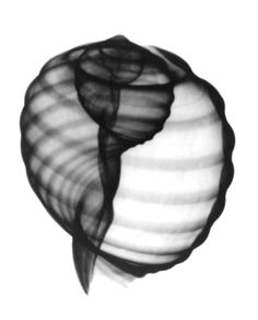 Google Image Result for http://www.fineartradiography.com/shells/images/Tonna-Tesselata.jpg