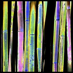 Bamboo trees taken in Black and White and then I added color in Photoshop. Also used a solarizing filter.