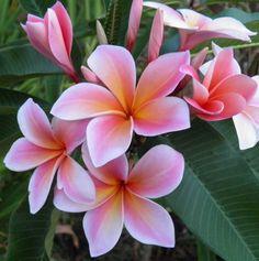 Sacred Garden Frangipanis - Online Shop