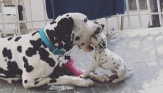 Thinking about getting a Dalmatian puppy? Here are some things you should know about Dalmatian puppies before you run out to your local shelter or rescue to adopt your own, from their energy levels to their unique spotted coats. Cute Dogs Breeds, Dog Breeds, Cute Puppies, Dogs And Puppies, Funny Animals, Cute Animals, Dalmatian Dogs, Puppy Care, Wild Dogs