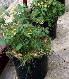 Odlingstips och skötselråd för tomater, plantera och skörda | Wexthuset Growing Gardens, Garden Planning, Garden Inspiration, Pergola, Home And Garden, Plants, Gardening, Outdoor, Tips