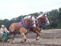 DraftsForSale.com: Belgian Horse For Sale - Ben & Randy