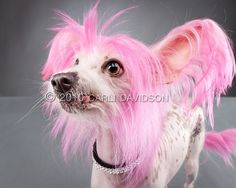 pink chinese crested --- My plans for Finn for Race for the Cure include doing THIS! YES!!!
