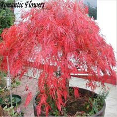 50 Particle / Bag Home Garden Plant Tree Seeds Acer Palmatum Dissectum Crimson Queen Seeds Japanese Red Maple Seeds #Affiliate