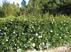 CAMELLIA sasanqua Early Pearly - tolerant of windy and exposed sites!