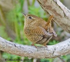 Winter Wrens are pocket-sized balls of feathers with super-sized songs that are so long. Cute Birds, Small Birds, Colorful Birds, Little Birds, List Of Birds, Animal Magic, Mundo Animal, Exotic Birds, Nature Animals