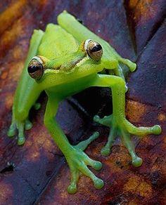 ˚Palmar Tree Frog (Hypsiboas pellucens) Esmeraldas, Ecuador by Lucas M. Bustamante @ flickr