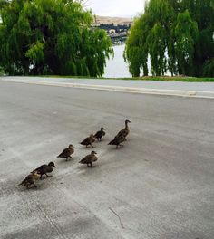 We had some quacky visitors at the gallery this week! The Ivy Box Gallery, Park Street, Queenstown, New Zealand.