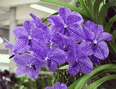 Für Deine Vanda Orchideen Beginnt Jetzt In Der Regel Die Hauptblütezeit.  Foto: J