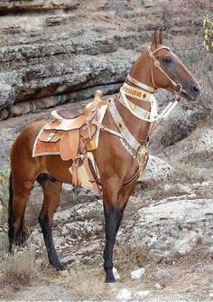 Akhal Teke horse all dressed up with collars.