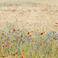 Wall mural - Rye Field with Flowers