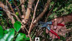 Cultivo da jabuticabeira
