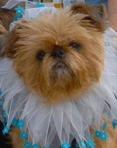 Raizel Dazzle the PAC Therapy Dog at UCLA Health System. Raizel Dazzel is a Brussels Griffon and has 7 years of service.
