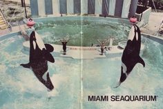 Hugo and Lolita inside a brochure for the Miami Seaquarium, 1970's.  I had a particular attachment to Hugo, since I had seen him first as a toddler.