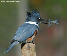 "Belted Kingfisher Found along river, stream, pond or lakes edge. Territorial-so it stays within the same quarter mile- If you hear a ""ka, ka, ka, ka ,ka"" it is there! Highland Lakes NJ 8/11/12"