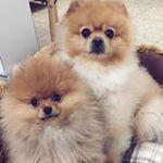 "Glamour Doggo - Dog trên Instagram: ""First snowfall of the season. SNOW MUCH FUN ❄️ Follow 👉 @glamourdoggo 👈 Follow 👉 @glamourdoggo 👈 📹: @moosethegoldenretriever"""