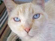Buddy, Flame Point who was once a stray | Flickr - Photo Sharing!