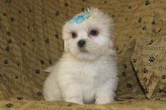 david is a male lhasa just posted at http://www.network34.com/dogsbreed/lhasa-apso-puppies-for-sale-pa-md-ny-nj-dc/