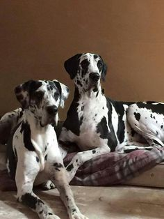 "Get terrific ideas on ""great danes"". They are actually readily available for you on our website. Dane Puppies, Black Lab Puppies, Cute Dogs And Puppies, Weimaraner, Hound Dog Breeds, Giant Dogs, Great Dane Puppy, Large Dog Breeds, Lap Dogs"