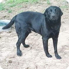 6/20/15 Yardley, PA - Labrador Retriever/Great Pyrenees Mix. Meet Lincoln ~B, a dog for adoption. http://www.adoptapet.com/pet/13206441-yardley-pennsylvania-labrador-retriever-mix