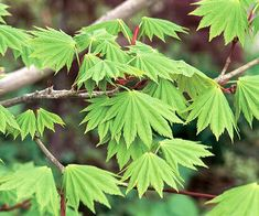 Green_Fanned Out Green Leaves Sprouting From Tree Branch Green Leaves, Plant Leaves, Silver Plant, Tree Branches, Shrubs, Perennials, Landscape, Garden, Pretty
