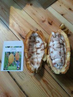 Cacao zaden. Iedere vrucht bevat 25 tot 40 zaden.