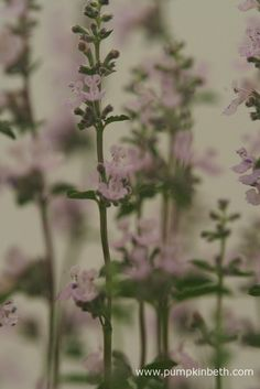 Nepeta x faassenii 'Crystal Cloud' is, like all Nepetas, a great plant to grow if you're interested in encouraging bees, butterflies, and other pollinating insects to your garden.