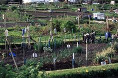 Free image of View over a plot with allotments Allotments, Growing Flowers, Free Stock Photos, Free Images, British, England, Vegetables, Gallery, Outdoor