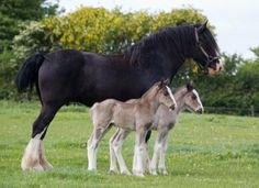 Shire mare with twin foals