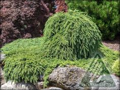 The Amazing World of Conifers Evergreen Garden, Garden Design, Dwarf, World, Amazing, Plants, Miniature, Color, Roses