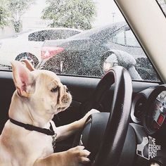 """""""I hate driving in the Rain"""", French Bulldog Puppy French Bulldog Stud, Blue Fawn French Bulldog, French Bulldog Drawing, Mini French Bulldogs, French Bulldog Pictures, French Bulldog Puppies, Mini Cooper, Losing A Dog, Best Dogs"""