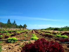 Fancy salad for lunch? There's lots of delicious colour in the fertile fields near Mellieha
