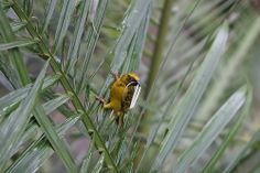 A male masked weaver, South Africa