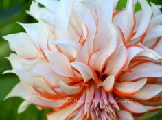 Santa Dahlia Flower  8x10 Print by LedByLight on Etsy,