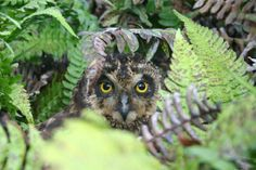 Short-eared owl on Santa Cruz Island (rotfuchs, May 2009) Galapagos Islands