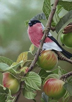 Bullfinch 'In The Orchard' painting by Steven Lingham Pretty Birds, Love Birds, Beautiful Birds, Animals Beautiful, Exotic Birds, Colorful Birds, Especie Animal, Bullfinch, Bird Pictures