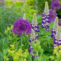 Plant Combinations, Flowerbeds Ideas, Spring Borders, Summer Borders, Allium Purple Sensation, Allium Globemaster, Lupinus The Governor, Euphorbia Palustris, Marsh Spurge, Russel Hybrids