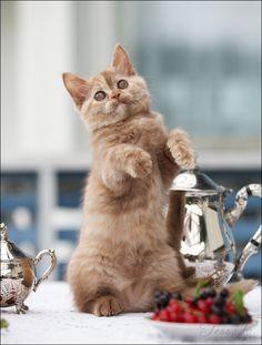 чайный котенок (британская короткошерстная)