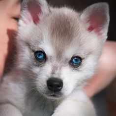 Do I look like a baby wolf? Such amazing blue eyes, Cute Baby Animals, Animals And Pets, Funny Animals, Cute Puppies, Cute Dogs, Dogs And Puppies, Doggies, Beautiful Creatures, Animals Beautiful