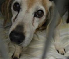 SUPER URGENT 11/19/17  **RESCUE ONLY** 12 yr. spayed, OWNER SURRENDER , 22 pounds   but tries to bite.**possible neurologic disease**