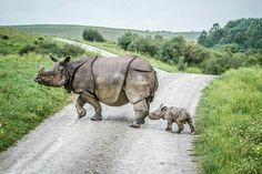 "A Mother Rhinoceros and Her Baby. ""Mothers and Babies"""