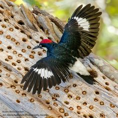 Acorn Woodpeckers are best known for their habit of hoarding acorns: the birds drill small holes in a dead snag, then harvest acorns in fall and store them in these holes, to be eaten during winter.