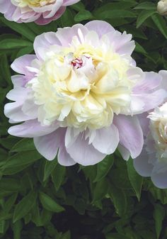 Peony 'Chestine Gowdy' - a fragrant tri-colored peony with strong stems for garden and bouquets