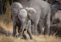 Field Guide Favourites: Baby Elephant - Singita