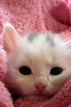 White Kitten on Pink Throw More