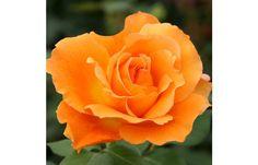 Bronze Star™ #rose