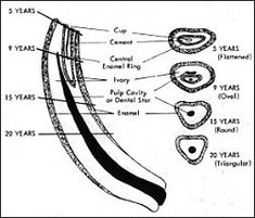 A permanent middle incisor tooth at different ages and stages of wear- determining the age of horses by tooth wear