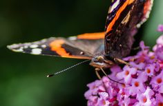 Admiral,Butterfly,Vanessa atalanta,The Red Admiral
