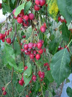 Crabapple or wild apple used as a herbal homemade solution for numerous health problems for children concerning stomach and bladder issues. Premature ejaculation's solution as well as handy solutions for aftermaths of childbirth and discussion about the cure of infertility and also cost an time friendly methods of common illnesses.