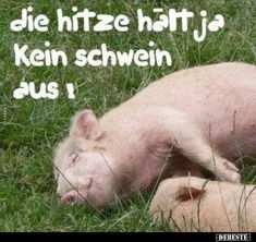 The heat can not stand a pig! Fruit Shakes, Humor, Animals, Funny Things, Coaching, Friendship, Jokes, Seasons, Pets